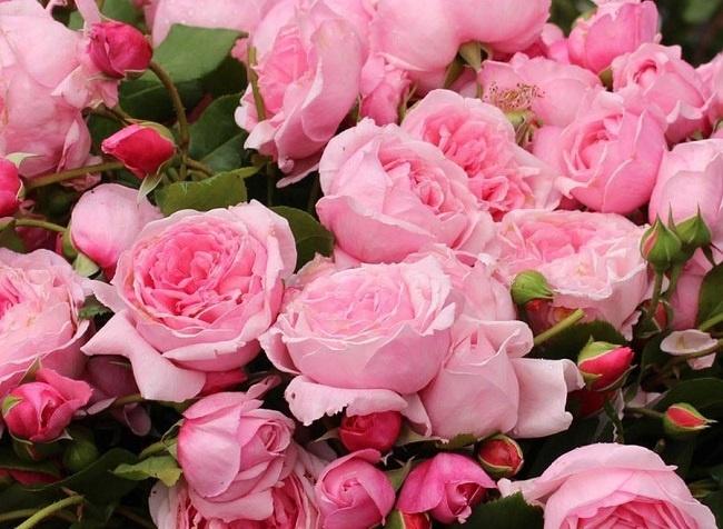 hoa hồng đà lạt giá sỉ 1