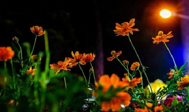 bí quyết chăm sóc hoa nở về đêm