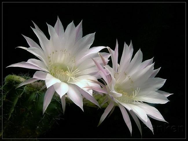 bí quyết chăm sóc hoa nở về đêm 1