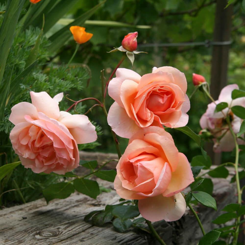 Những loài hoa tươi ý nghĩa tượng trưng cho tình yêu đẹp giá SIÊU BẤT NGỜ