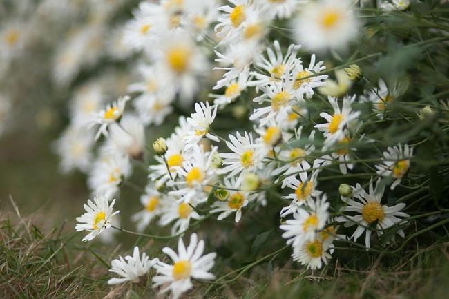 làm đẹp từ hoa cúc 1