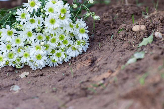 làm đẹp từ hoa cúc