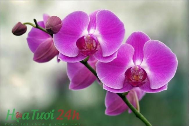chăm sóc hoa lan hồ điệp trong chậu 1