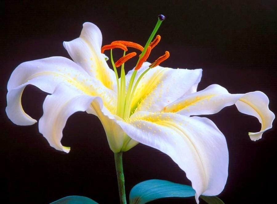 Chọn hoa ly làm hoa tốt nghiệp hoa chúc mừng