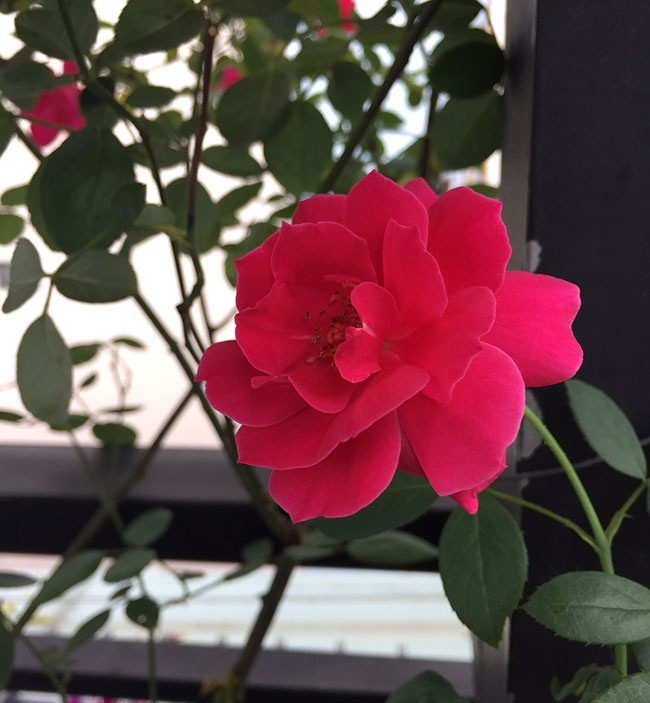 ý nghĩa của hoa hồng nhung pháp