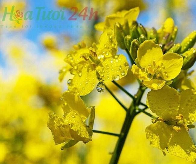 Hoa cải dầu loài hoa ý nghĩa cho tháng 2