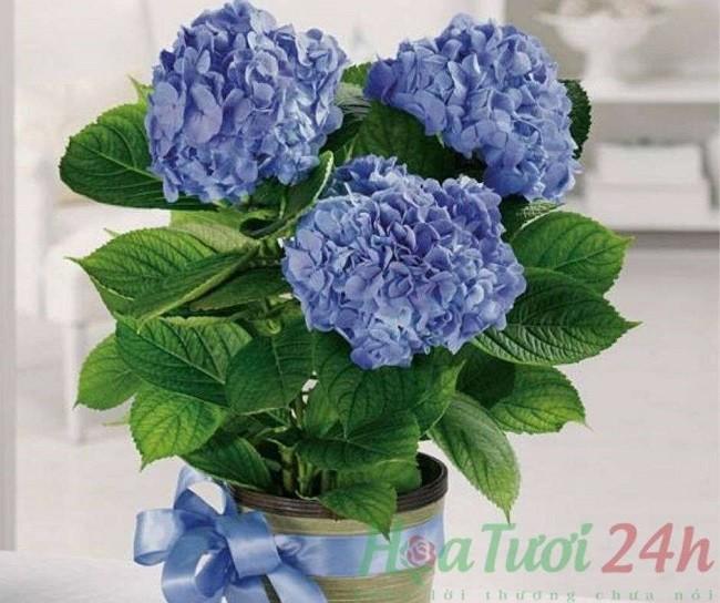 Hoa cẩm tú cầu - Loài hoa ý nghĩa Tháng 6