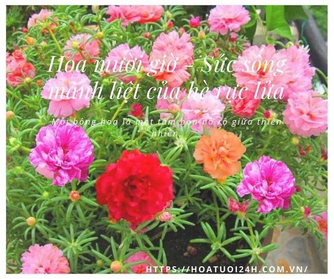 hoa mười giờ thêm sắc hoa rực rỡ trong mùa hè