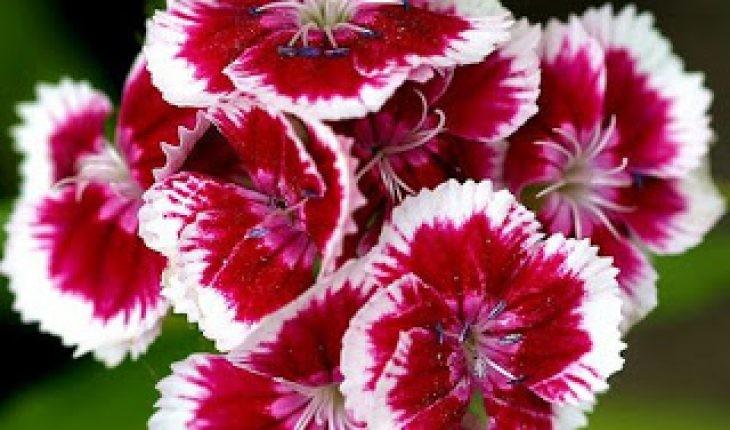 Carnation-la-hoa-gi