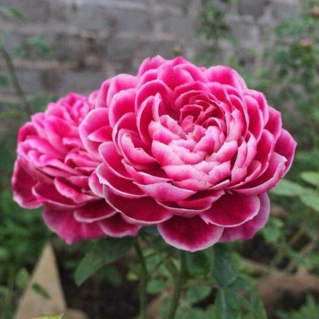 cấu tạo chung của hoa hồng