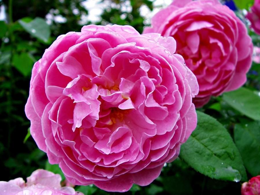 đặc điểm hoa hồng