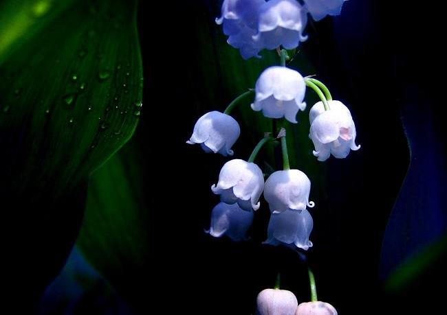 hoa chuông đẹp