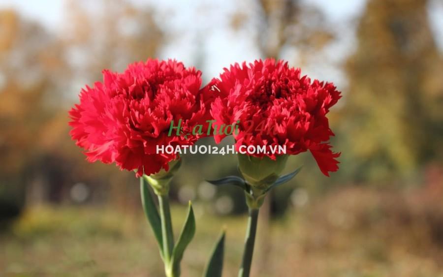 Các loài hoa tượng trưng cho 12 cung hoàng đạo hoa cẩm chướng