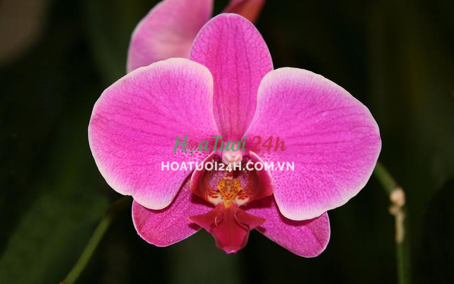 Hoa orchid là gì