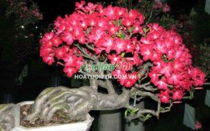 hoa sứ thái