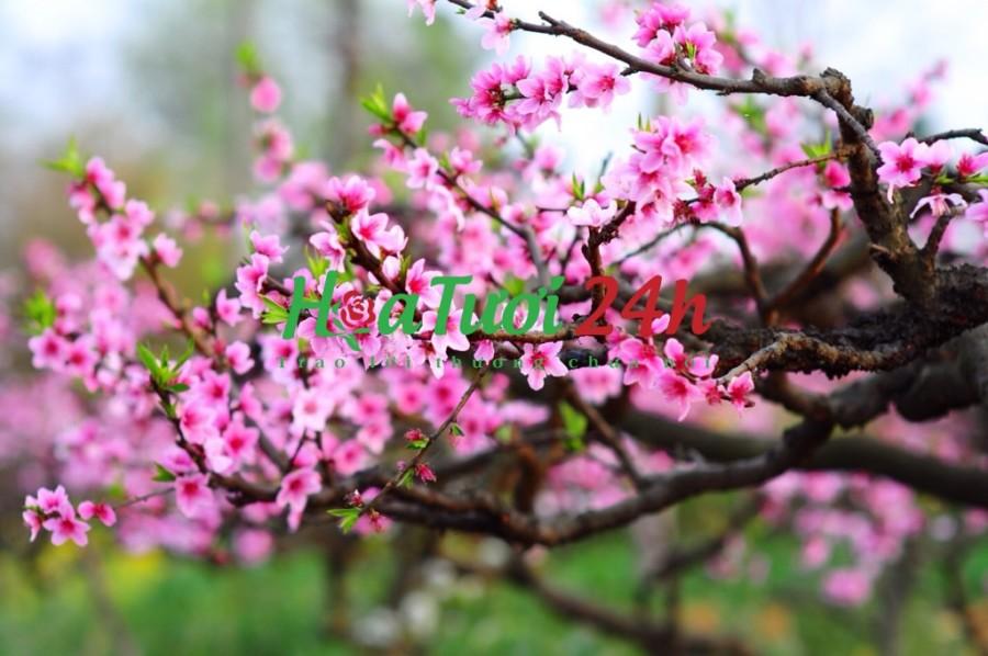 Ý nghĩa hoa đào tết