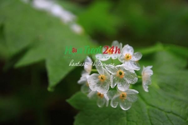 ý nghĩa hoa diệp hà sơn