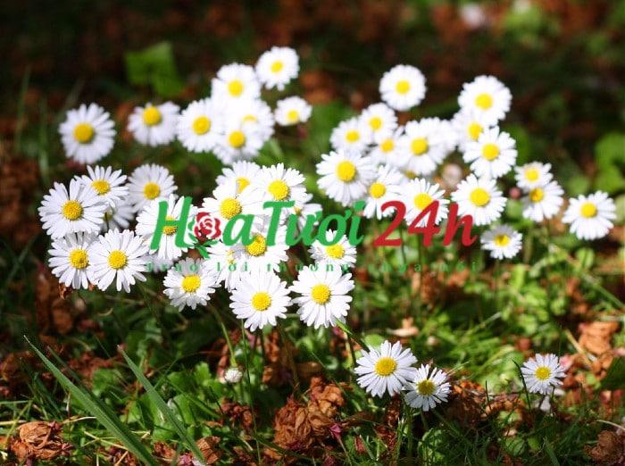 ý nghĩa hoa cúc họa mi