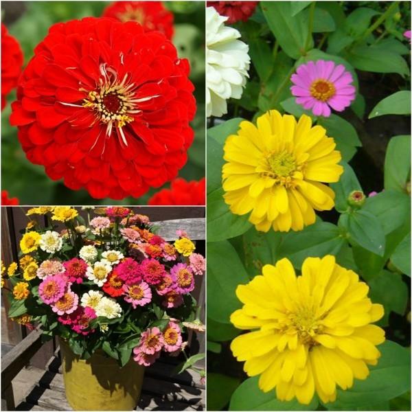 Ý nghĩa hoa cúc zinnia