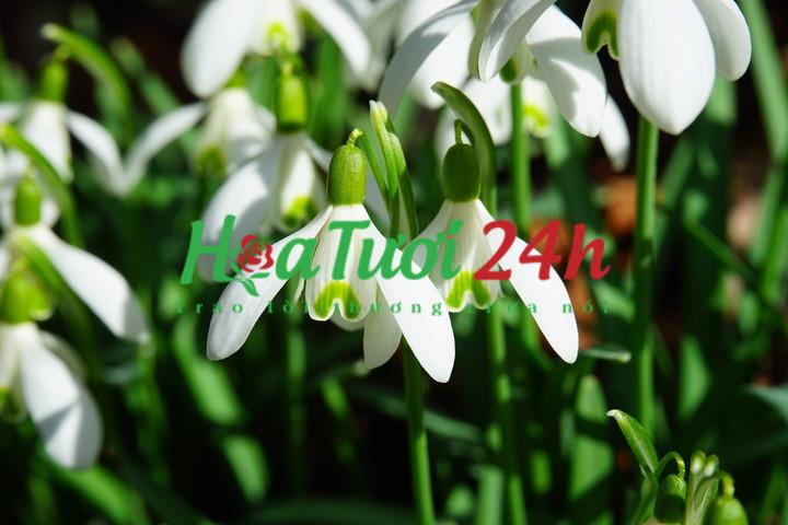 Ý nghĩa hoa Xuyên Tuyết