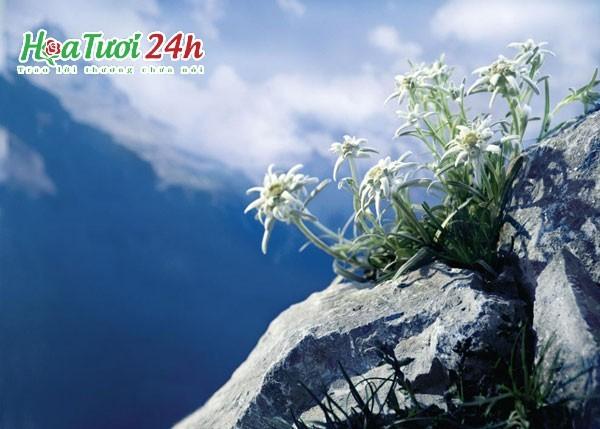Ý nghĩa hoa nhung tuyết