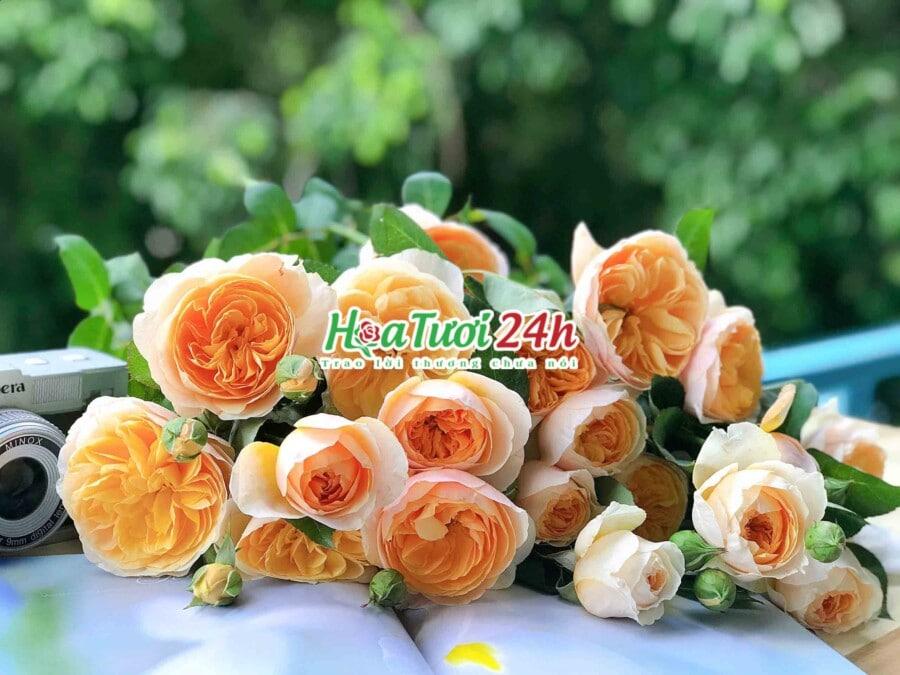 Cách chăm hoa hồng Juliet