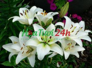 chung-hoa-ly-co-y-nghia-gì-1 (1)