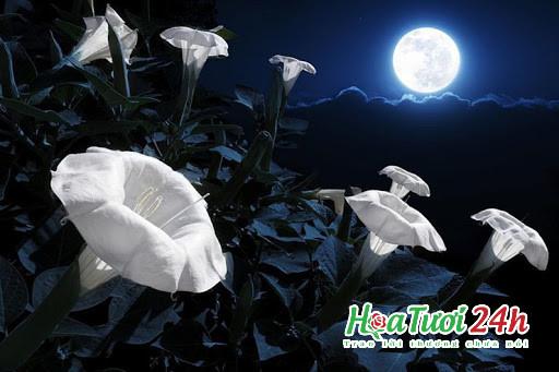 Ý nghĩa hoa mặt trăng