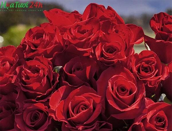 Hoa hồng Ecuador là gì ?